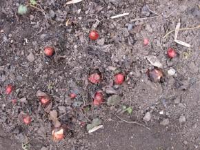 Rhubarb heads
