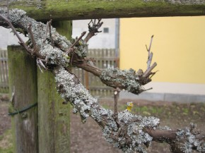 Vines are trimmed